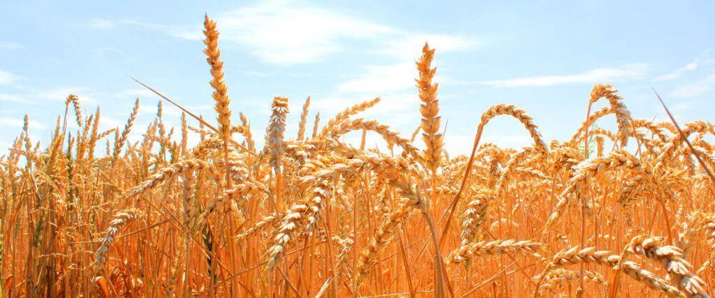 Beratung für Unternehmen in der Wachstumsphase. Symbolbild: Getreide